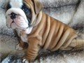 Alluring English bulldog puppies Our puppies are very sweet and charmingcontact at 402-838-7683
