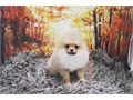 Breed PomeranianNickname BooDOB April 05 2019Sex MaleApprox Size at Maturity