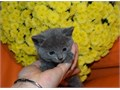 Russian Blue availI will reply back only to direct contact for more details and pictures text us 8
