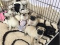 Beautiful  Registered Two Pug girl Puppies are available now for their new homes text 8157979569