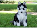 Cute Male and Female Siberian husky puppies For more details please email jw60978gmailcom or text