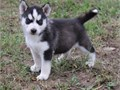 Siberian husky puppies ready Our puppies are very sweet and charmingcontact at 561-377-0085