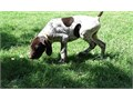 German Shorthaired PointerText me on   813-586-0441 or E mail on paulhulk789