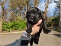 Cute Newfoundland PuppiesSuper lovely and beautiful puppies so please if you are interested please