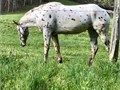 Has one colt for 1000 nursing with mama Paint horse registered to Paint Horse Association Has an