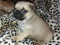 I have a Fawn Male Pug and a Rare White Male Pug Puppy available very soon We