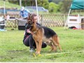 German shepherd   available for Stud services 800  AKC registered  Pedigree  OFA DM Clear call