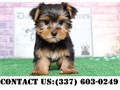 Shy Yorkshire terrier Puppies they are Home raised petsVet checked and wormed