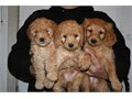 Goldendoodle Puppies for Sale They are 11 weeks old and have had first shots and have also been dew