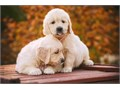 hi have golden pups available dark and light males  females they are 8weeks have been dewormed a