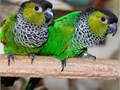 -Black-capped Conure - Black-capped parakeet - Rock conure- We Ship Safely Nationwide We use a pate