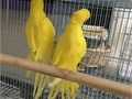 Surgically sexed breeder only perfect condition male and female 450 each