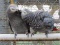 African grey Parrots for sale contact us for more Information and details regar