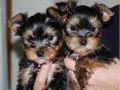 We have 4 pure breed 3 girls and 1 boy For more details and recent pictures text
