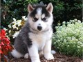 FEEY Siberian Husky Puppies for sale -  text us at804 592 0091- For more info and pics text us