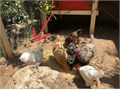 Free 8 month old Silkie rooster  We can only have hens and this one turned out to be male  Pick up