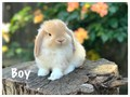 Gorgeous eight week old Holland lop bunnies We handle these bunnies every day so they are used to b