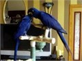 Hyacinth Macaw Pair for AdoptionYou text for more info and pics contact via 540 XX 947 XX 4049