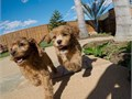 Puppys name KingstonBreed CavalierToy PoodleAge 10 weeks oldRegistry