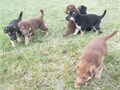 Rare liver and black  and tan  akc  German shepherd puppies  great bloodlines they are wormed and wi