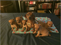 4 females  1 male is litter only ONE female left All red coat dewormed Plz call or text for m