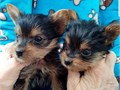 I have a 12 week old yorkie for rehoming We live in an apartment and unfortunately feel like he nee