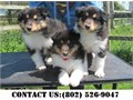 Rough Collie Puppies for AdoptionIf interested contact us Text Only on the number found on the pics