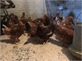 About 100 eight week old red Sexlink pullets These girls will start laying at around 19 weeks locat