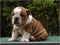 English Bulldog pupsthey are amazing cute adorable boys they have raised in a loving family home