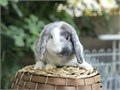 Beautiful baby bunnies pure breed holland lops will stay small only about 35 pounds full grown very