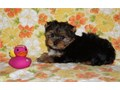 PELY Yorkshire Terrier Puppies for sale -  text us at804 592 0091- For more info and pics text