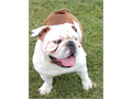 English bulldog Stud service AKC registered3 years oldPlease email me if any questions