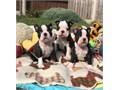 Boston Terrier PuppiesVery well socialized with adults and childrenIf you have any questions plea