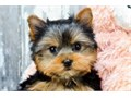 YORKIEBeautiful yorkie puppies are looking for new home female 10 weeks old ready to go new hom