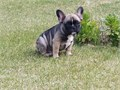 Akc registered French Bulldog pups Im a licensed local breeder in NipomoAll pups are up to dat
