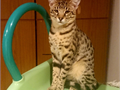 Here is a boy Savannah cat that I want to give out He is very friendly and will come with all paper