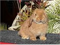 Holland Lop Bunnies for sale We have many colors to choose from and offer shipping as well pedigrees