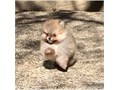 Friendly Teacup Pomeranian Puppies AvailableThese awesome litter of Teacup Pom