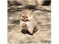 Friendly Teacup Pomeranian Puppies AvailableThese awesome litter of Teacup Pomeranian Puppies are