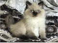 Adorable Seal Point Himalayan male kitten available for adoption11 weeks old - vet checked 2 vac