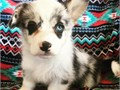 lovely litter of Corgi puppies now ready to go to new homes puppies are 10 weeks old and pure breed