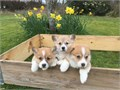 They are male and female corgi puppies good with cats and other dogs and litter trained Theyll be