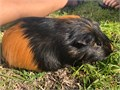 Ozzy is about one year old He is a male guinea pig rescue from a frat house in San Francisco He is