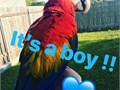 Cute and playful scarlet macaw very healthy and strong parrot very good taking dancing very friendly