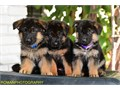 I have males and females available Parents are inported from Germany Puppies come with 2 shots and