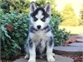 BEST Siberian Husky Puppies for sale -  text us at804 592 0091- For more info and pics text us