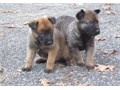 Calm Belgian Malinois Puppies For SaleThey are very friendly with other pets and children Ready to