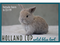 TAKING DEPOSITSBUNNIES WILL BE READY 8219Super sweet purebred Holland Lop bunnies These lit