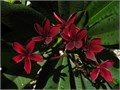 Saturday 720 8-11 amWe will have the following potted and cut plumeria and tropical plants avail