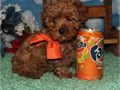 Toy sized brown maltipoo puppies8 wks old has vaccines raised indoors with kids and ready to go Th